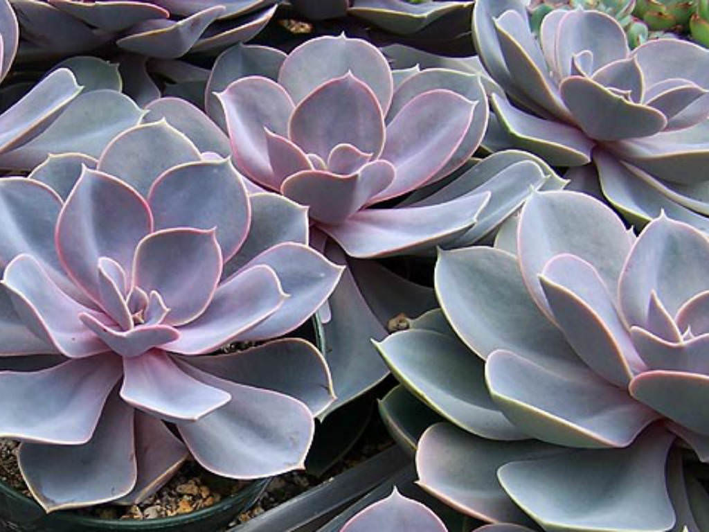The Black Pearl Wallpaper Top 12 Succulents For Home Gardens World Of Succulents