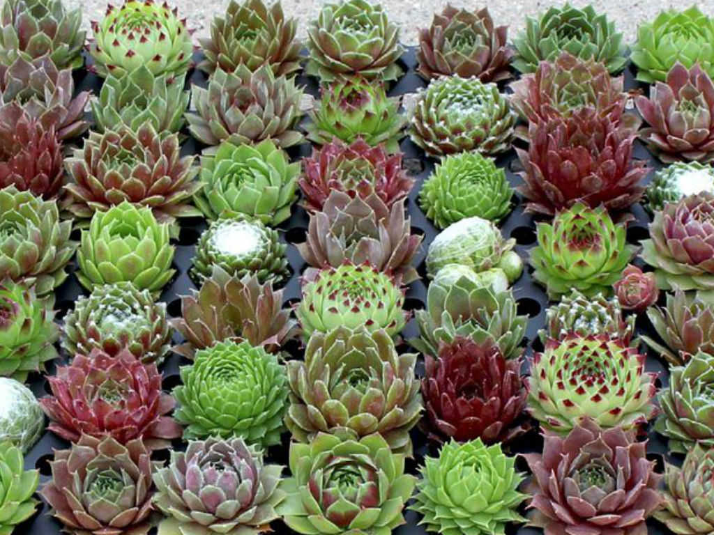 Hauswurz Steingarten How To Grow And Care For Sempervivum World Of Succulents