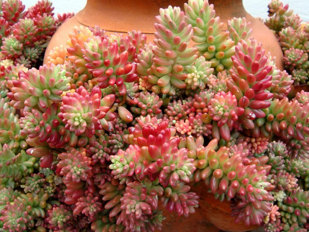 Sedum Rubrotinctum 39aurora39 Pink Jelly Bean World Of