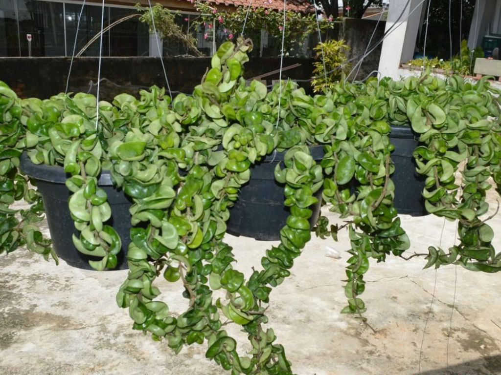 Hoya Plant Kopen Hoya Compacta Hindu Rope Plant World Of Succulents