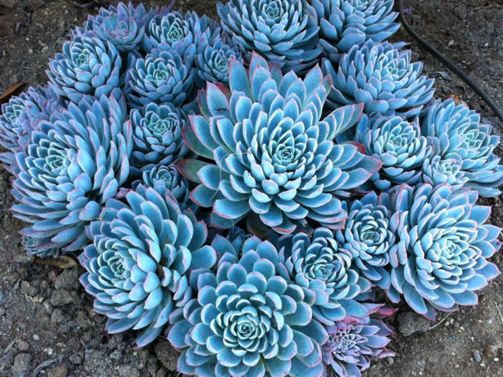 Fall Leaves Wallpaper Echeveria Violet Queen Violet Queen Hens And Chicks