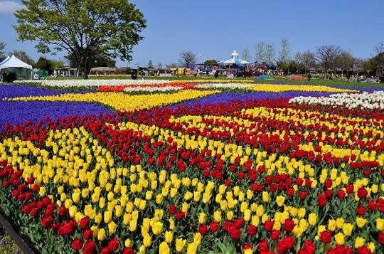 Japan Flower Festival Tulip Festival Japan