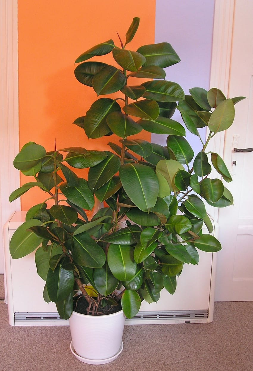 Indische-rubberboom