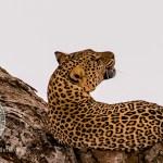 Leopard Serengeti Tanzania
