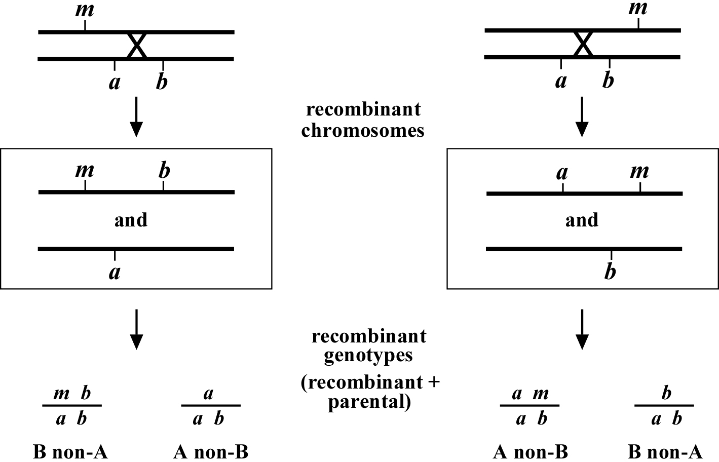 Chromosome Map Genetic Mapping And Manipulation Chapter 3 Three Point