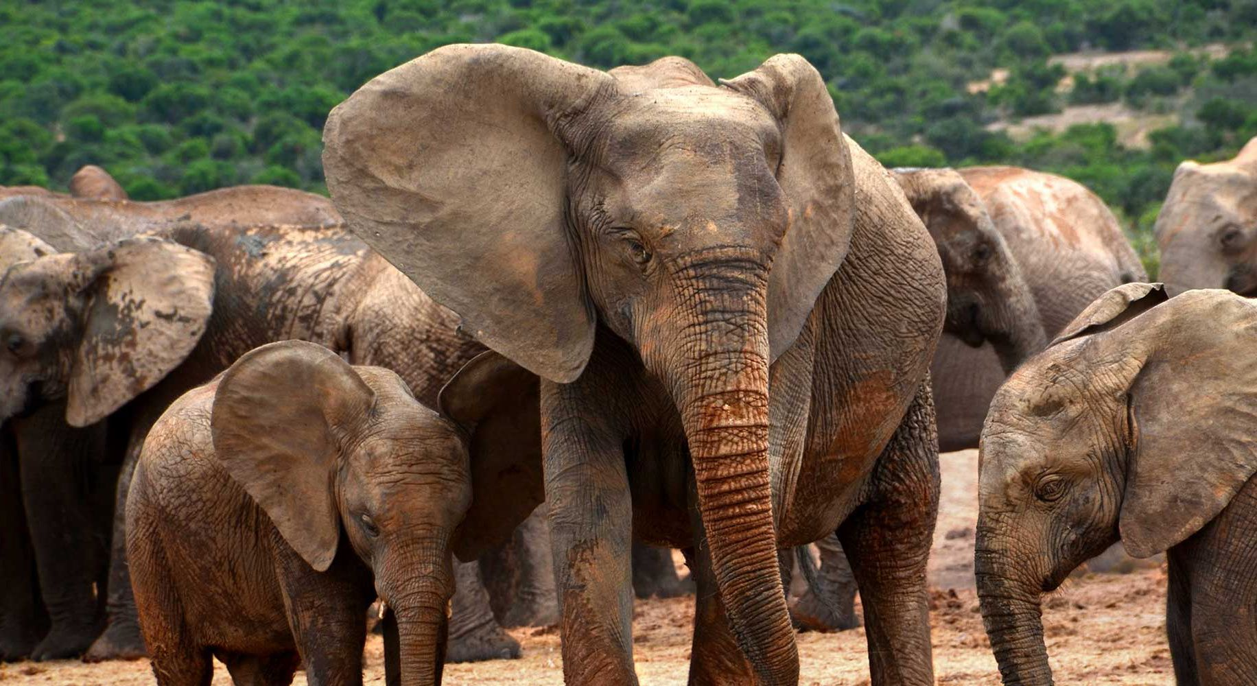 Photos éléphants Poaching Is Forcing Elephants To Evolve Away From Having Tusks