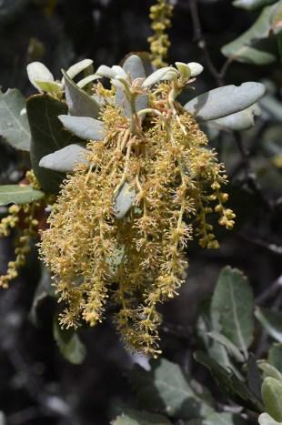 La flor de la carrasca (Quercus ilex)