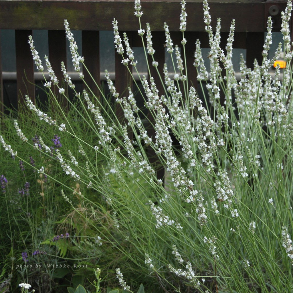 White Lavender, July 2016