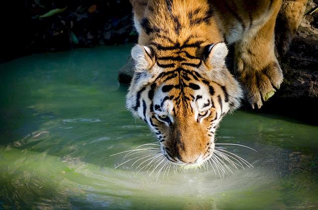 tiger-978817_640