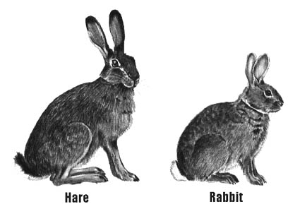 Hare Vs Rabbit Whats The Difference Writing Explained