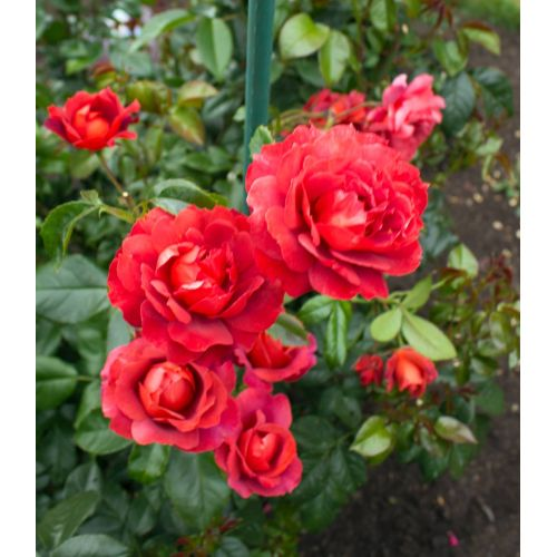 Medium Crop Of Chrysler Imperial Rose