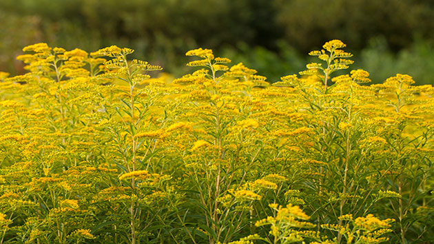 Fight back this fall against ragweed allergies WTOP