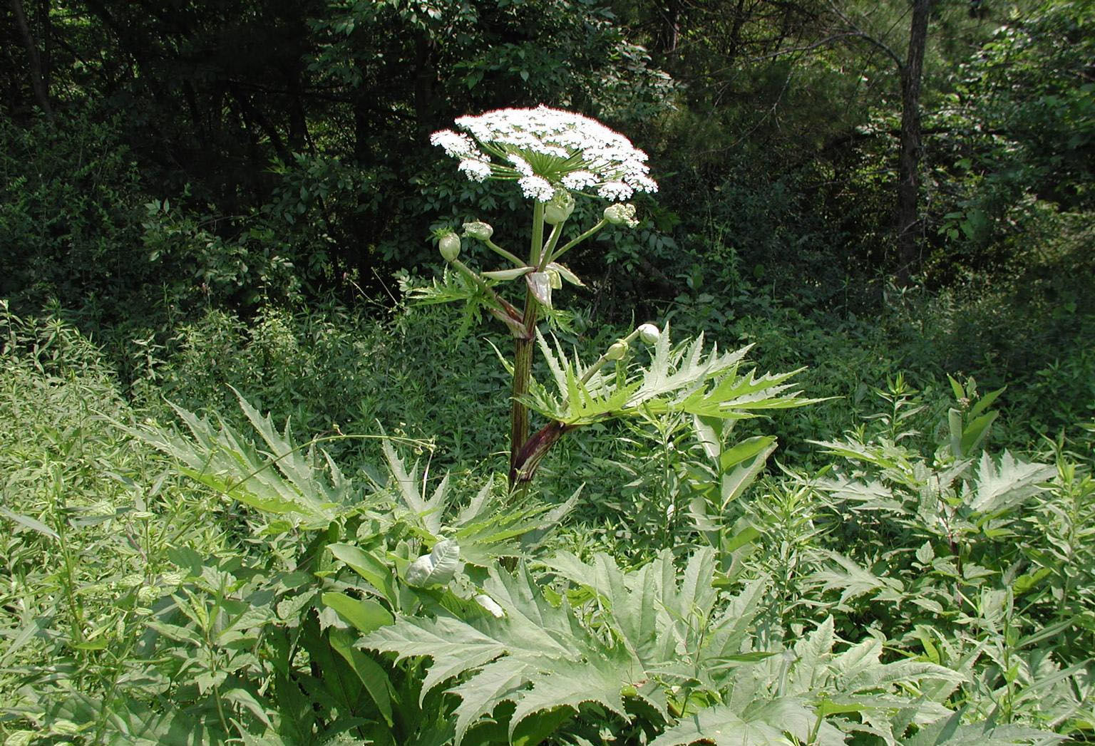Giant Hog Weed Giant Hogweed, A Toxic Plant You Need To Know About In Va
