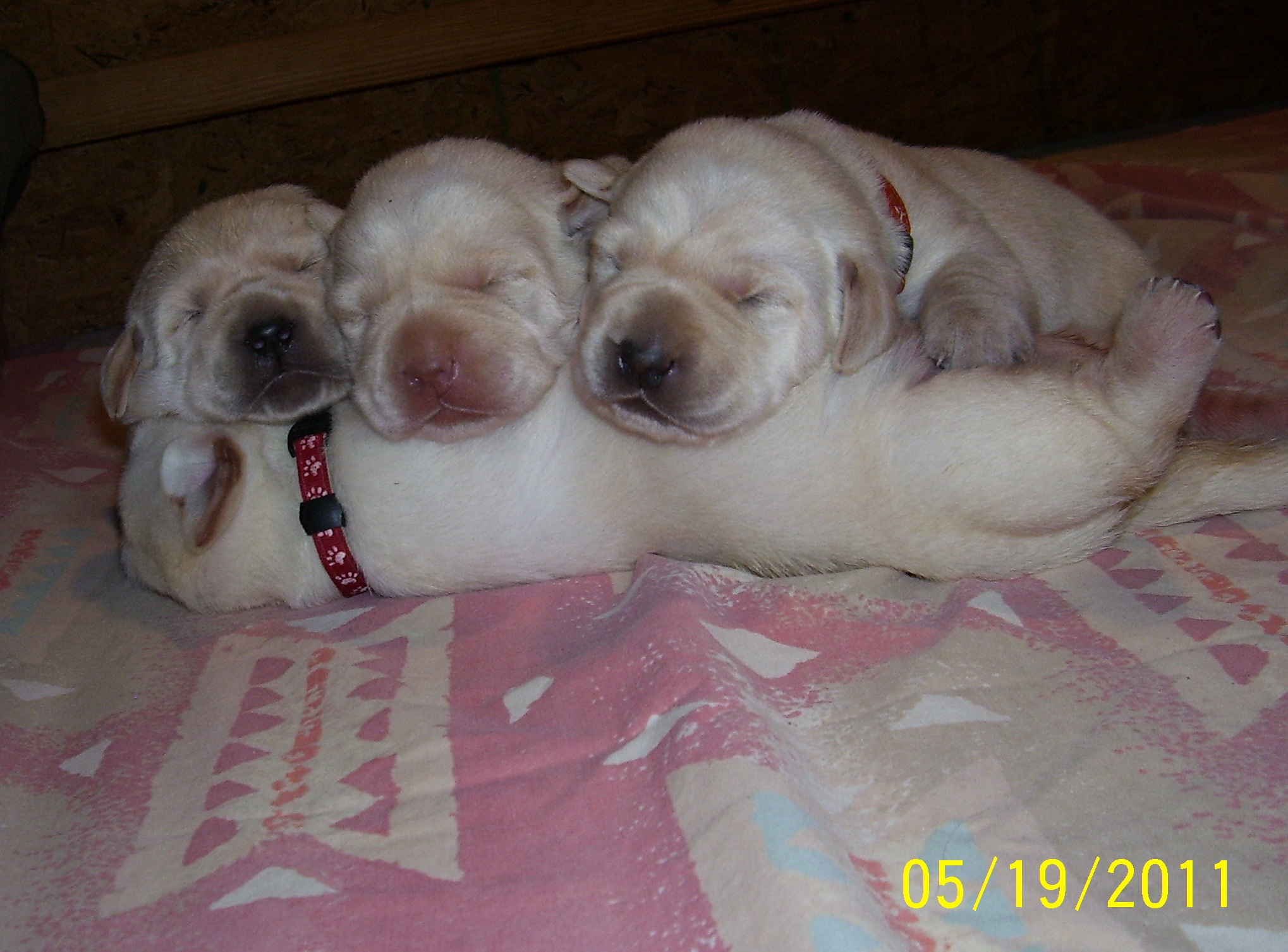 English Yellow Lab Puppies For Sale Akc English Labrador Puppys For Sale Located In Allegan