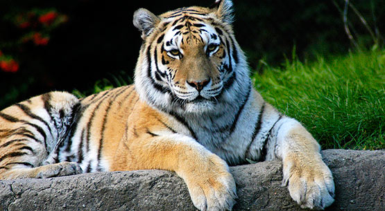 Neon Animal Print Wallpaper Endangered Tigers Website Tigers In Crisis Com To Launch