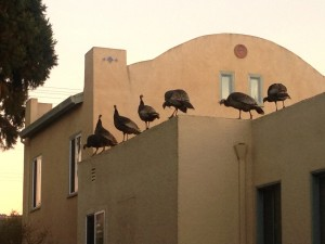 Turkeys get ready to roost in a yard in the East Bay town of Albany. (Audrey Sillers)