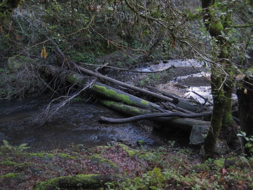 Marin County's Lagunitas Creek, home to a run of wild coho salmon.