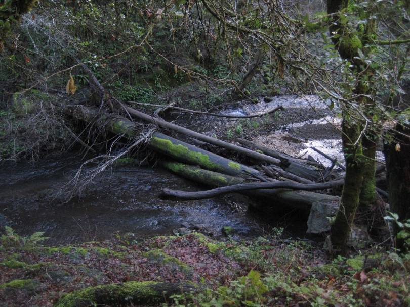 Marin County's Lagunitas Creek, home to a run of wild coho salmon.