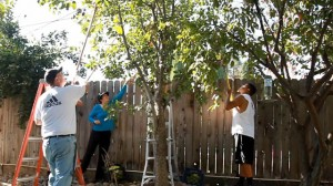 David Terrel, at left, works with his wife, Sarah Ramirez, center, and a volunteer to glean pears from a backyard tree in Visalia.  (Scott Anger/KQED)