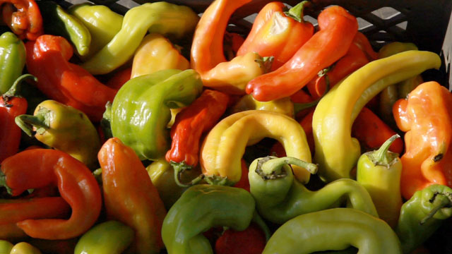 Peppers with imperfections wouldn't be wanted by major grocery retailers. (Scott Anger/KQED)