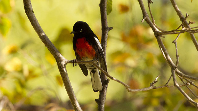 Painted redstart in a Berkeley tree on Sunday, Nov. 17, the first time this species has been recorded in Alameda County. (Cal Walters/Berkeleyside)