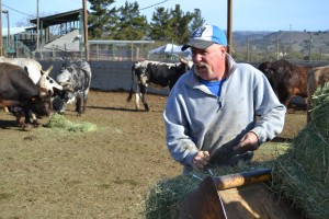 Bill Lyle feeds his rodeo bulls in Morgan Hill, Calif. in February 2014. Photo: Matt Hansen/Peninsula Press