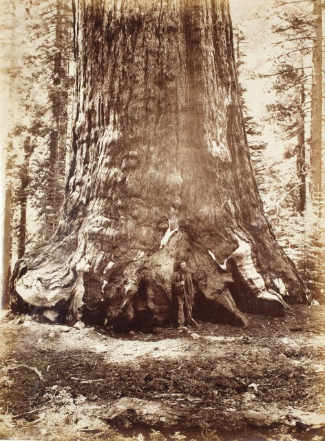 Galen Clark was among Yosemite's early advocates, and he served as guardian of the park for 24 years. Here he stands with the Grizzly Giant. (Photo by Carleton E. Watkins, Courtesy of The Bancroft Library, University of California, Berkeley.)