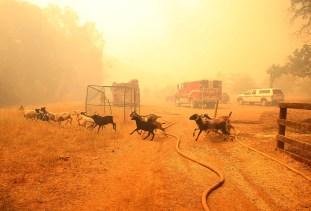 Goats flee the Rocky Fire on Friday as the blaze burns through an area dotted with ranches.