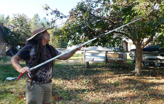 Amigo Bob harvests persimmons at what was once a stagecoach stop.