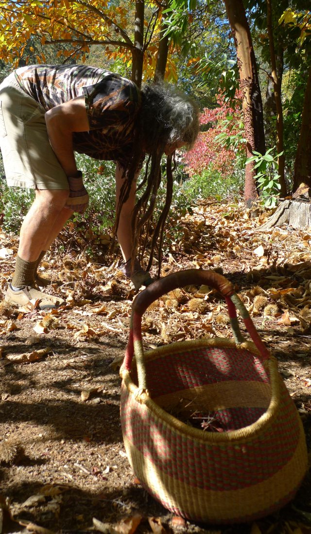Amigo harvests chestnuts from a century-old, heritage tree.