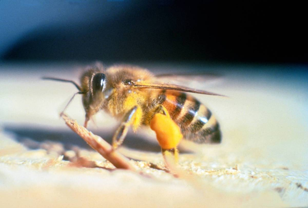 Were Those Insects in Concord 'Killer' Bees -- or Just Really Mad?