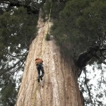 Tree Climbers Clone Redwoods to Fight Climate Change