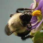 This Vibrating Bumblebee Unlocks a Flower's Hidden Treasure