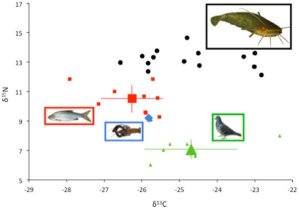 Isotopic analysis of catfish and their prey