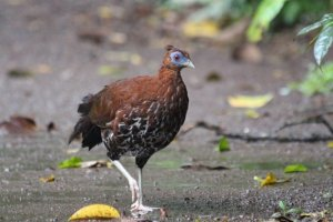 Female Crested Fireback