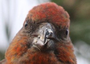 crossbill portrait