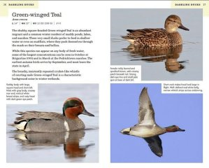 NJ Green-winged Teal