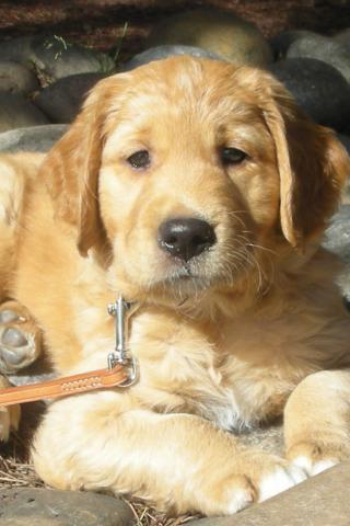 Wallpapers For Iphone 3 Best Pet Golden Retriever Puppy At Beach 320x480