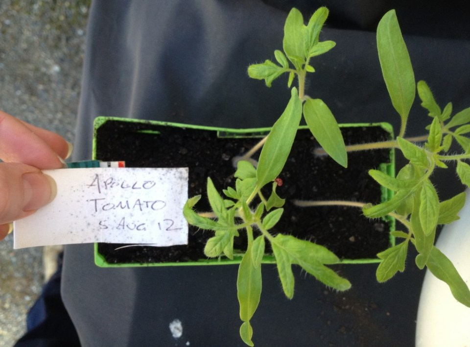 cropped-cropped-img_0908-tomato-seedlings.jpg