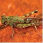 adult locust