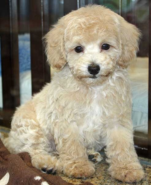 Image For What Should You Expect From A Bichon Frise Poodle Mix