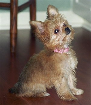 Image For The Chorkie A Chihuahua Yorkshire Terrier Mix Breed Puppy