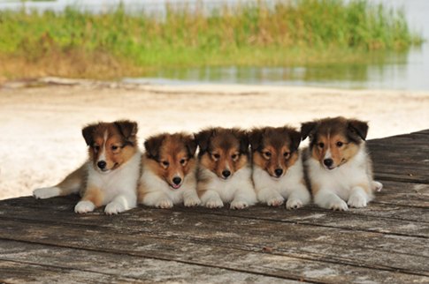 Puppies In Fall Wallpaper Shetland Sheepdog Sheltie Info Puppies Pictures
