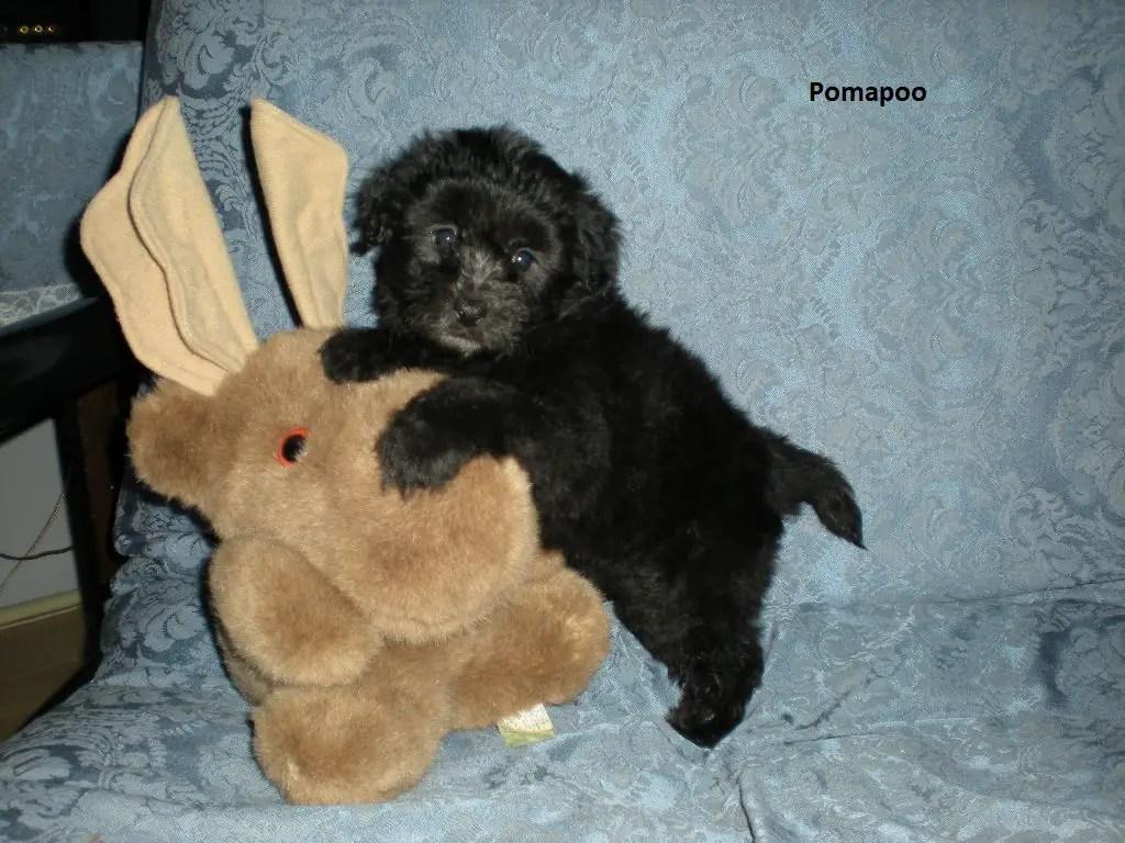 Eye Black Pomapoo Puppy S Pomapoo S Do Toy Poodles Shed Do Cocker Poodles Shed bark post Do Poodles Shed