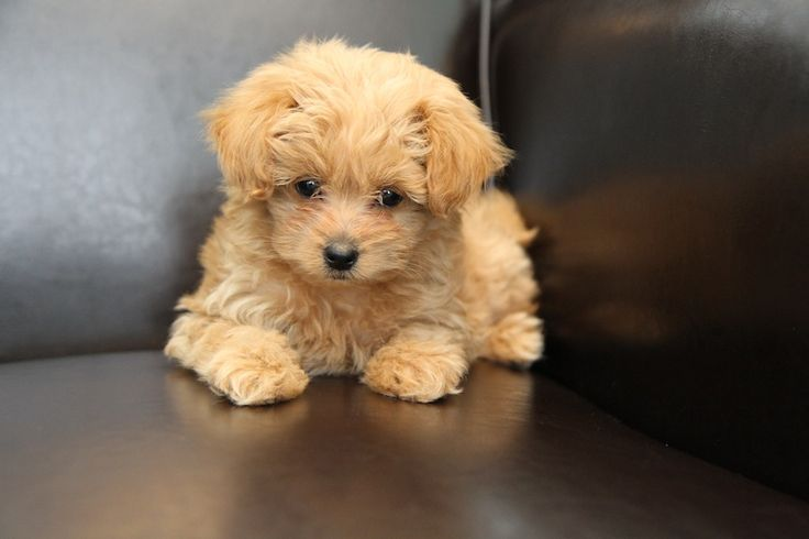 Image For Bichon Frise Poodle Chihuahua Mix