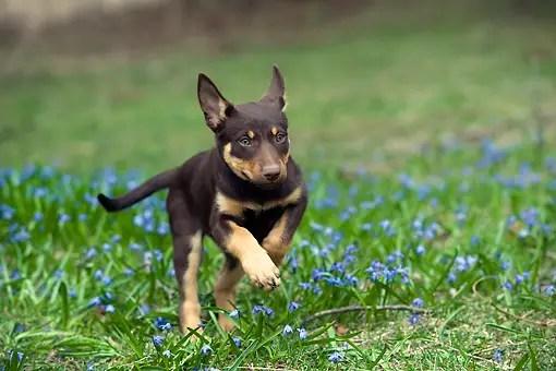 Image For Australian Cattle Dog Breeders