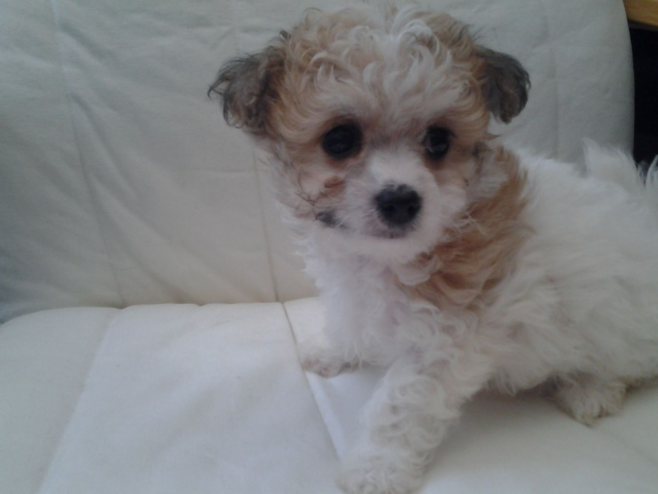 Image For Bichon Frise Chihuahua Mix