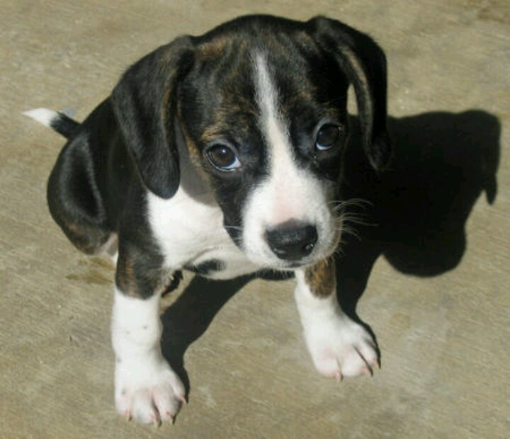 Image For Boxer Puppies For Sale Boxer Dog Breed Info