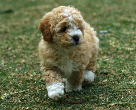 Image For Bichon Mix Puppies For Sale Bichon Mix Breed Info