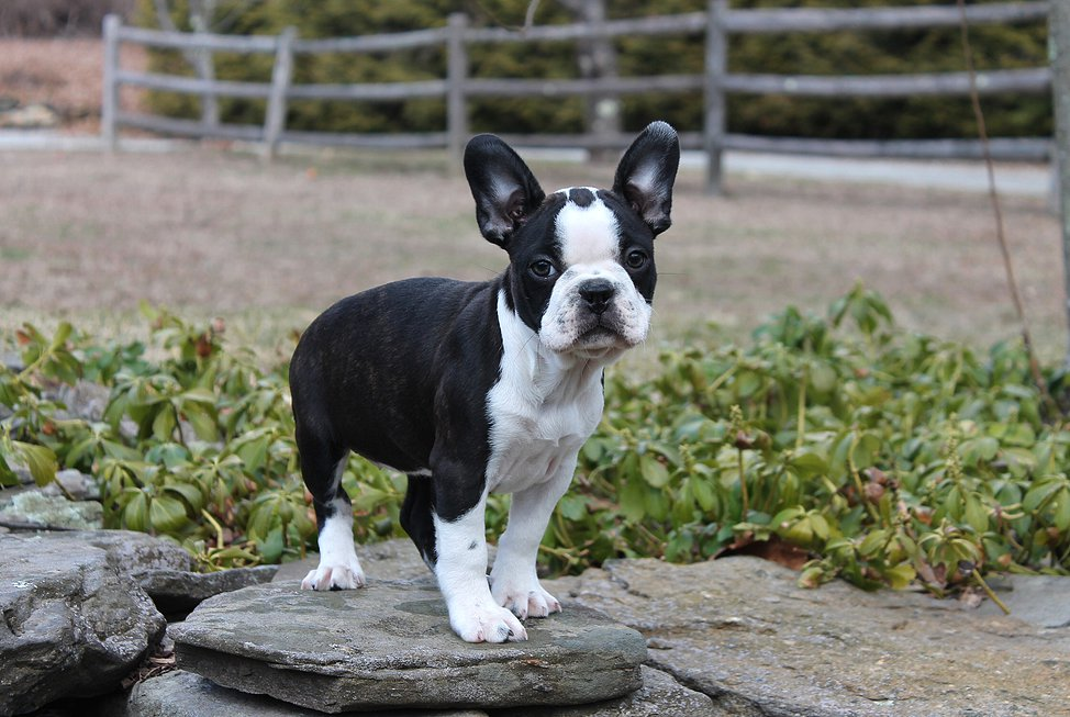 Image For Boston Terrier Breed Information Pictures Boston